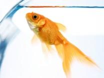 Goldfish in bowl