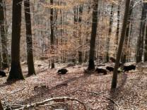 Mit Drueckjagden gegen die Wildschweinplage